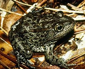 Mississippi gopher frog - Image: Mississippi gopher frog