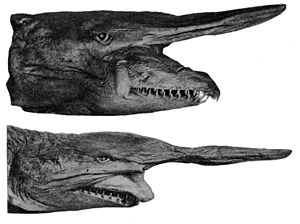 Goblin shark - Differing jaw positions in preserved goblin sharks led to several specimens being erroneously described as distinct species.