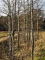 Mixed saplings in Gåseberg 2.jpg