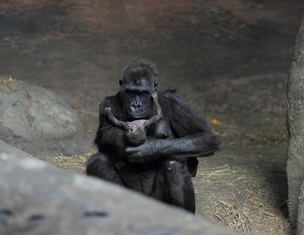 Moka with baby gorilla at Pittsburgh Zoo 8, 2012-02-17