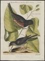 Molothrus ater - 1700-1880 - Print - Iconographia Zoologica - Special Collections University of Amsterdam - UBA01 IZ16000277.tif