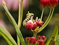 Monarch Butterfly Danaus plexippus Caterpillar Eating 2595px.jpg