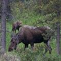 Moose & calf (2619567405).jpg