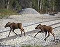 Moose calves cross the railroad tracks and run towards their mom near the Horseshoe Lake Trailhead on May 27, 2019. (eb7cd12a-d4af-447a-8af6-ada8cadafe02).JPG