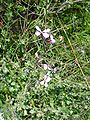 Moricandia arvensis re.jpg