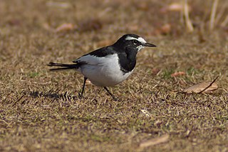 Japanese wagtail Species of bird