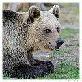Mother bear (14340895993).jpg