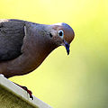Mourning dove (4821595992).jpg