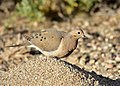 Mourning dove on Seedskadee National Wildlife Refuge (34638845533).jpg