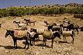 Mules in Tabant.jpg