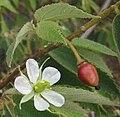 Muntingia Calabura flowers fruit.jpg