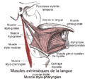 Muscle stylo-pharyngien1.png