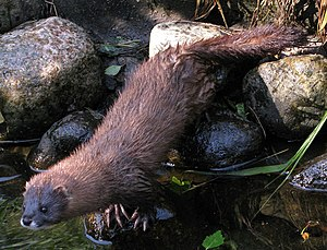 European mink - European mink by a pond