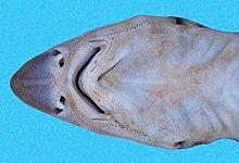 Ocellate topeshark - WikiVisually