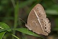 Mycalesis mineus-Kadavoor-2016-04-02-001.jpg