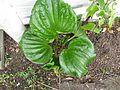 Myosotidium hortensia - Flickr - peganum (1).jpg