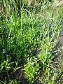 Myosotis scorpioides (subsp. scorpioides) sl28.jpg