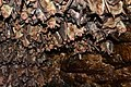 Myotis blythii 01.jpg