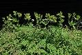 Myrrhis odorata kz03.jpg
