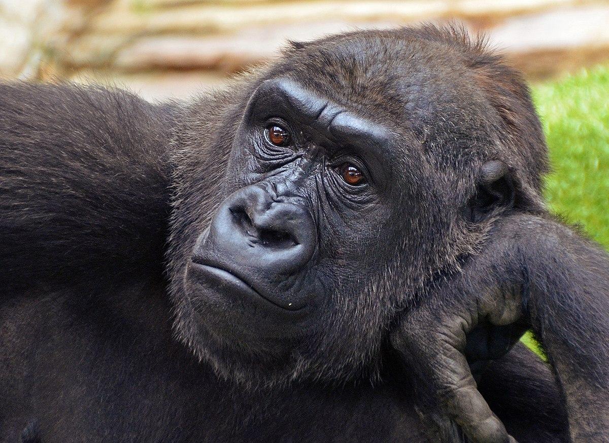 Gorilla >> gorila - Wiktionary