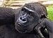 N'Tami, Western Gorilla.jpg