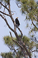 NASA Kennedy Wildlife - Bald Eagle (7).jpg