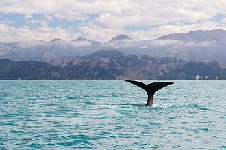 Kaikoura - Iconic sperm whale and mountain ranges