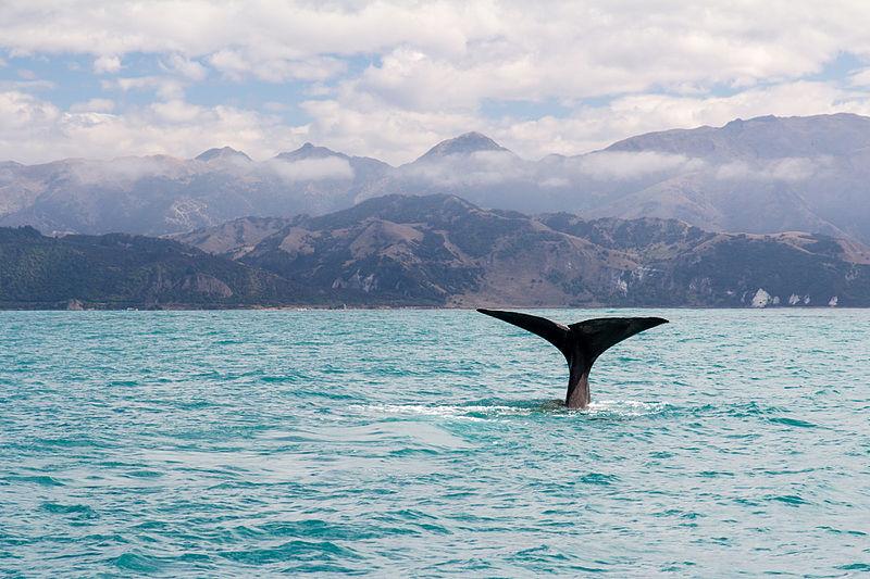 File:NZ280315 Kaikoura Whale Watching 06.jpg