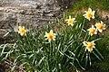 Narcis pseudonarcissus.jpg