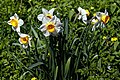 Narcissus in Great Canfield, Essex England.jpg