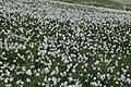 Narcissus radiiflorus - panoramio (3).jpg