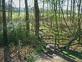 Narrow woodland - geograph.org.uk - 467593.jpg