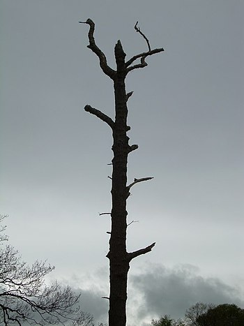 English: Natural Totem Pole Dead tree in Yorks...