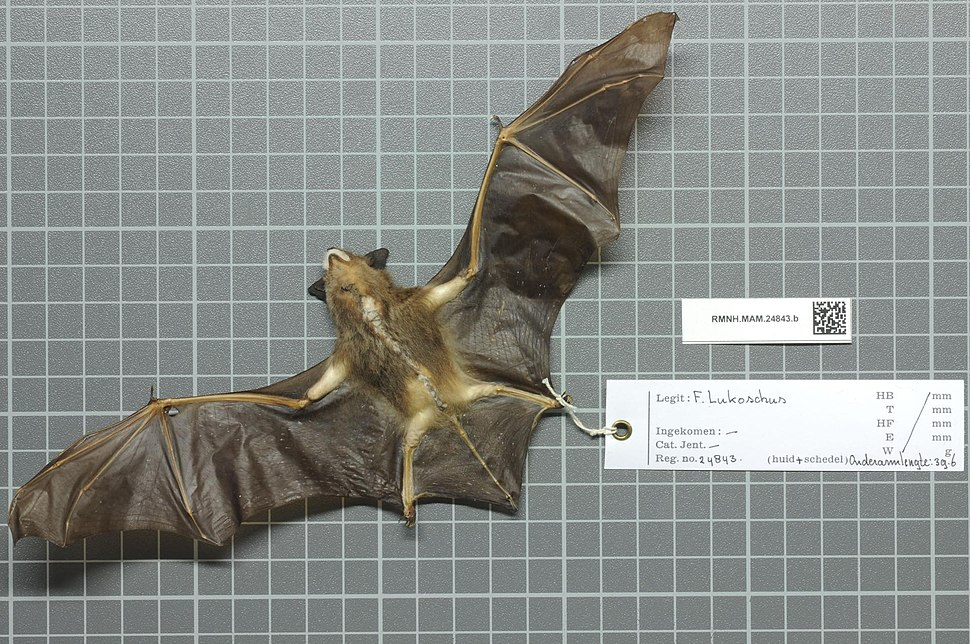 The image depicts a preserved bat corpse