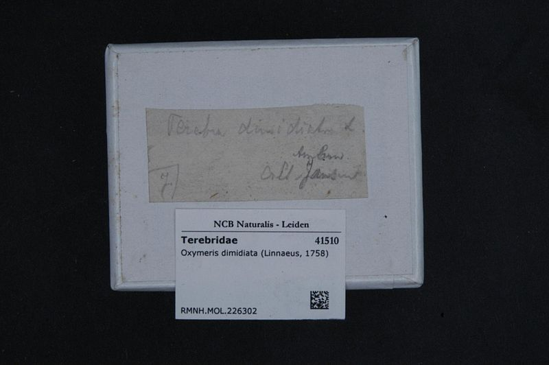 File:Naturalis Biodiversity Center - RMNH.MOL.226302 1 - Oxymeris dimidiata (Linnaeus, 1758) - Terebridae - Mollusc shell.jpeg