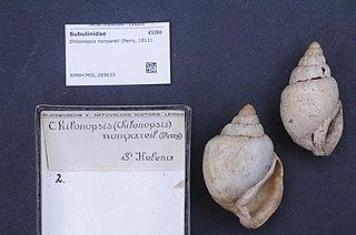 <i>Chilonopsis</i> genus of molluscs