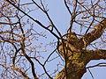 Naturdenkmal 1504-1 Eiche im Wohldweg, Bild 5.JPG