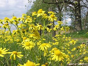 Frühlings-Greiskraut (Senecio vernalis)