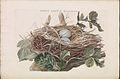 Nederlandsche vogelen (KB) - Nycticorax nycticorax (152a).jpg
