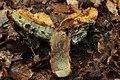 Neoboletus luridiformis (35715614573).jpg