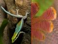 Neon Day Gecko (Phelsuma klemmeri) Edited.png
