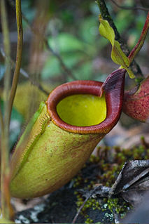 <i>Nepenthes deaniana</i> species of plant