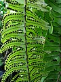 Nephrolepis exaltata subsp. hawaiiensis (5311110721).jpg