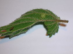 Nettle leaf vein with Dasineura dioica.JPG