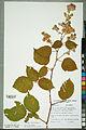 Neuchâtel Herbarium - Rosa canina - NEU000099769.jpg