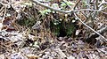 New England cottontail burrow (5927615844).jpg