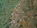 Nidorellia armata 17 May Tagus Cove snorkel (47927485223).jpg