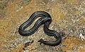 Nilgiri woodsnake-Xylophis perroteti.jpg