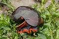 Norris's Top Snail - Norrisia norrisii (28574665937).jpg