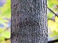 Norway Maple (31133020696).jpg